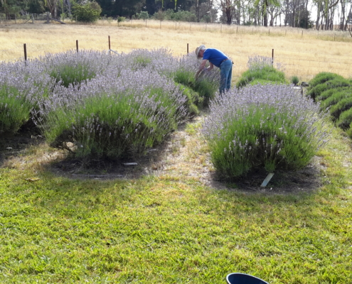 Harvesting older bushes at Pinelea Lavender